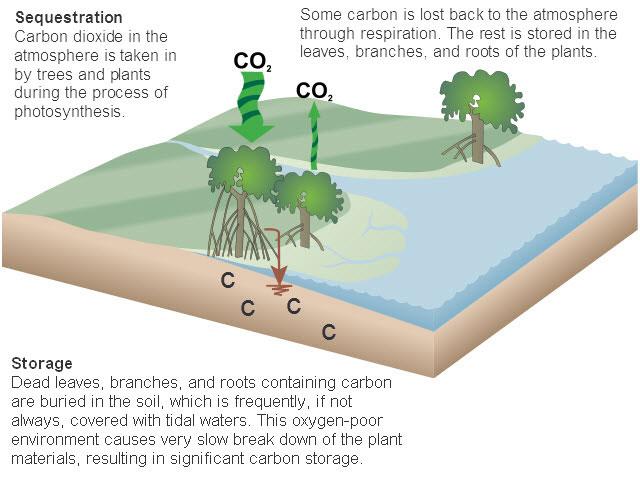 7 Reasons Mangroves Matter Mangrove Ecosystems Photosynthesis