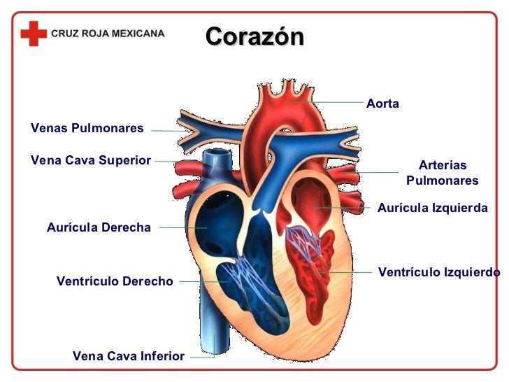dibujos de un corazon humano con sus partes en espaol  Buscar