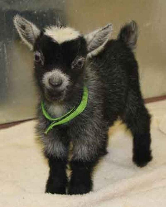 Pygmy goat - We used to have a baby goat that looked so much like this one. His name was Elvis. One of the sweetest pets we ever had. :-)