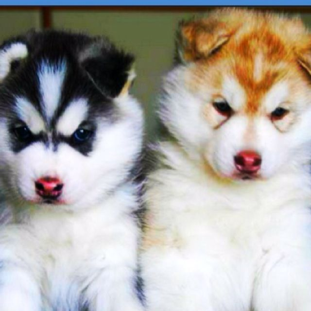 Husky Puppies Cute Husky Puppies Malamute Puppies