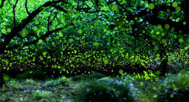 Ensaio fotográfico com vagalumes em floresta no Japão