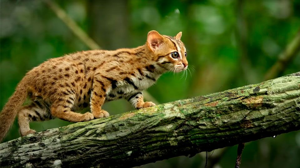 The World S Smallest Big Cat Rusty Spotted Cat Rusty Spotted Cat Small Wild Cats Spotted Cat