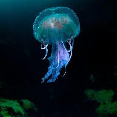 Jellyfish   Jellyfish pictures British wildlife Ocean ...