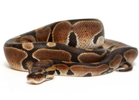Ball Python Care Sheet Ball Python Care Ball Python Reptiles Pet