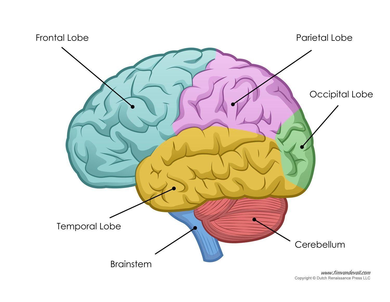 Labeling The Brain Worksheet Human Brain Diagram Labeled