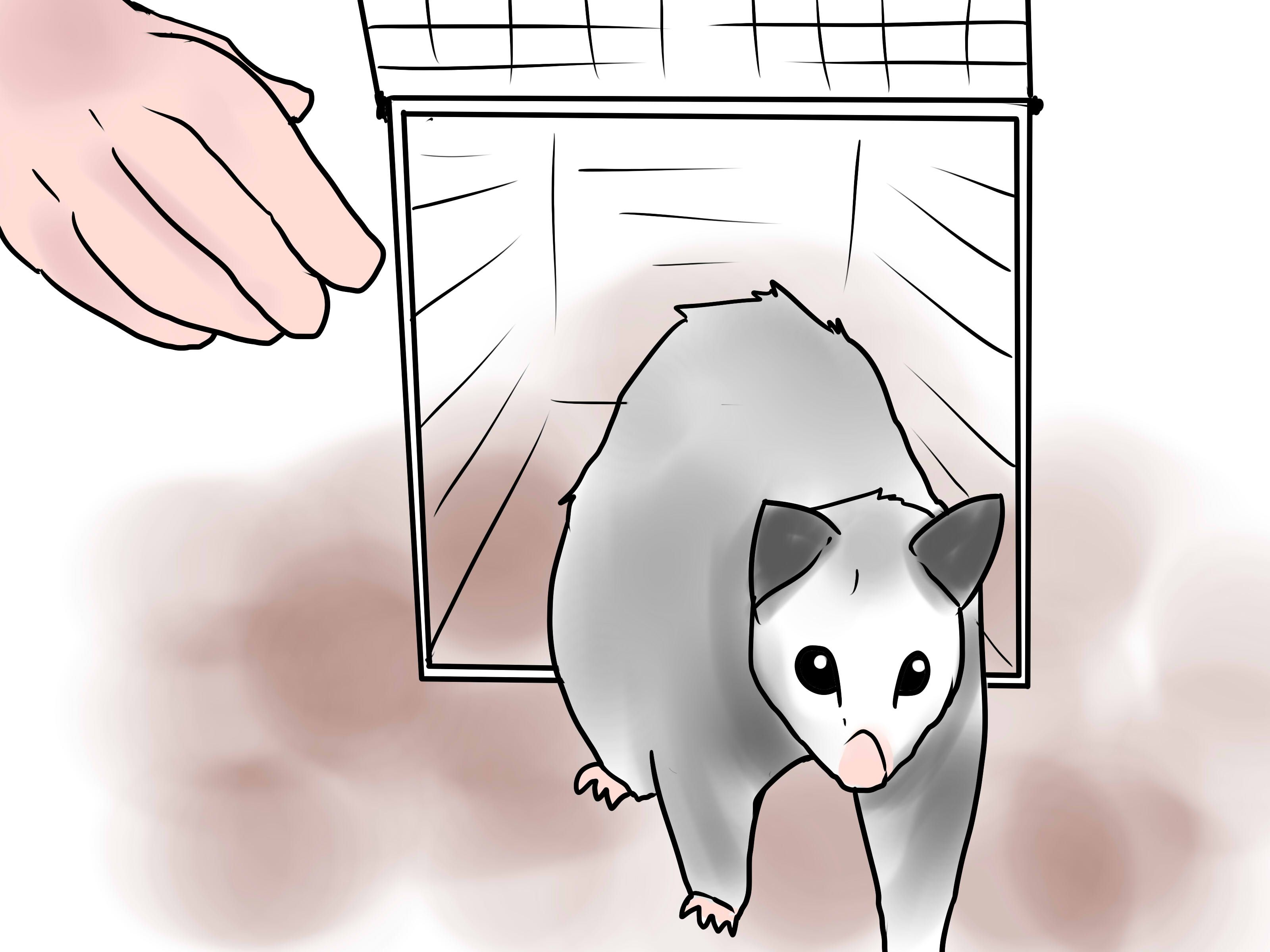Get Rid of Possums Aggressive animals, How to get rid