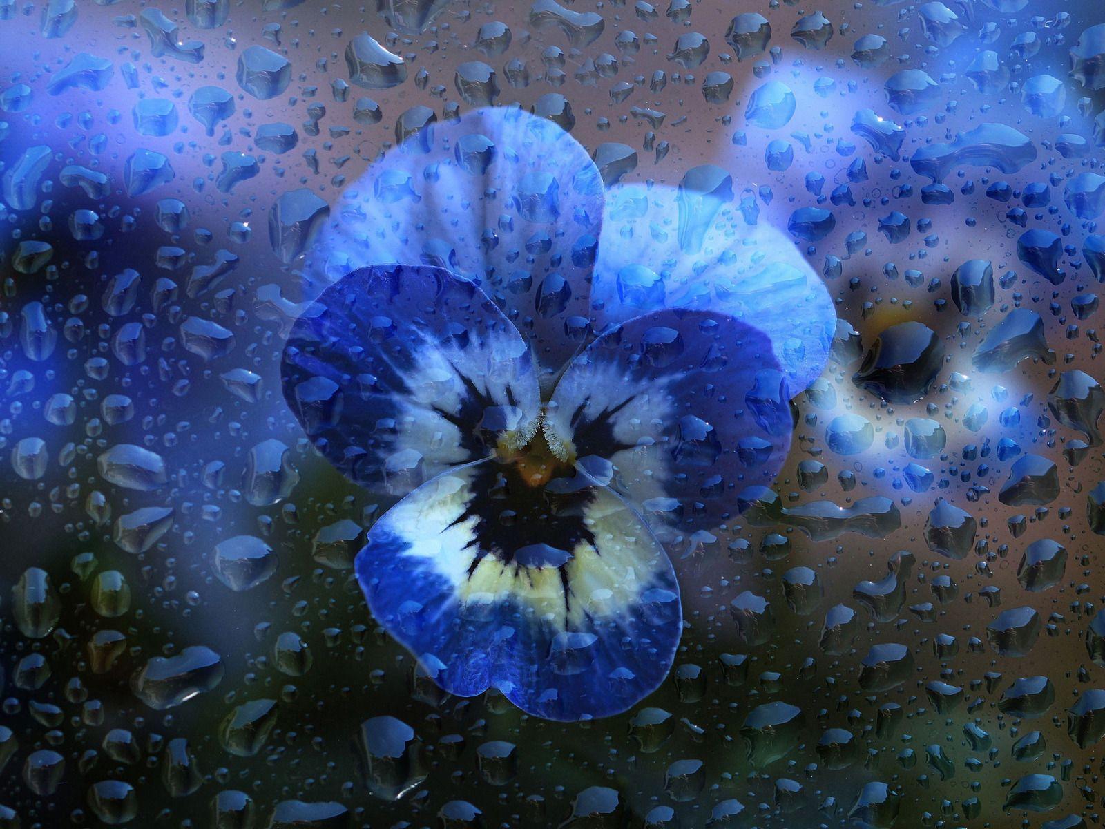 Water Drops Macro Flowers Blue Pansy Violet Pansies Blue Flowers Flowers