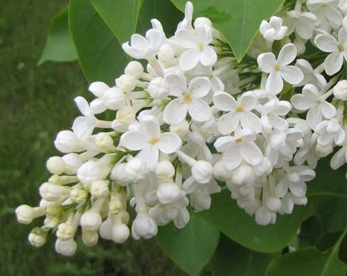 White lilac flower google search flowers and fabulous gems white lilac flower google search mightylinksfo