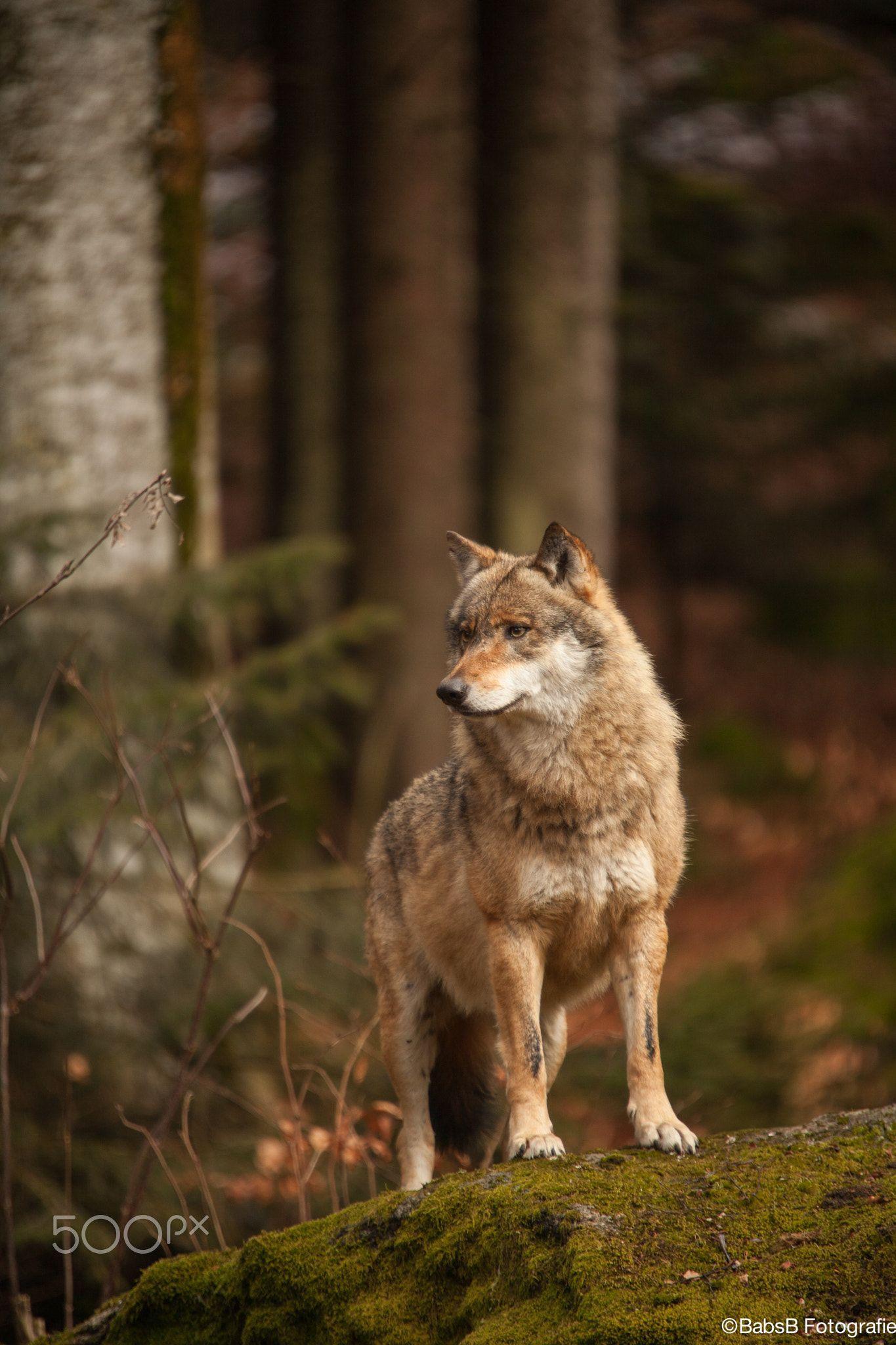 Schoner Wolf Mit Orangenen Farbtonen Im Wald Ausgestopftes Tier Tiere Wild Wolf