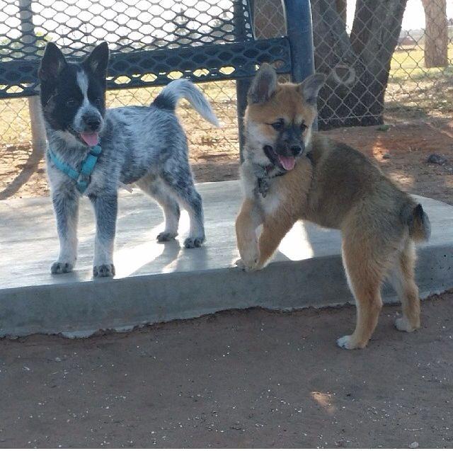 Pomeranian Blue Heeler Mix Puppy Dogs Heeler Puppies Blue Heeler Puppies Pomeranian Mix