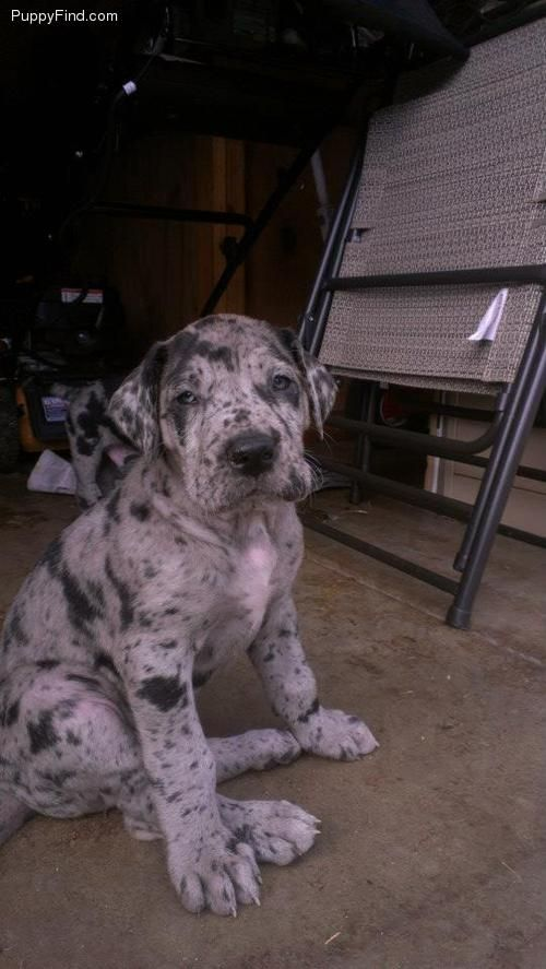 Omg A Silver Merle Great Dane One Day I Will Have One