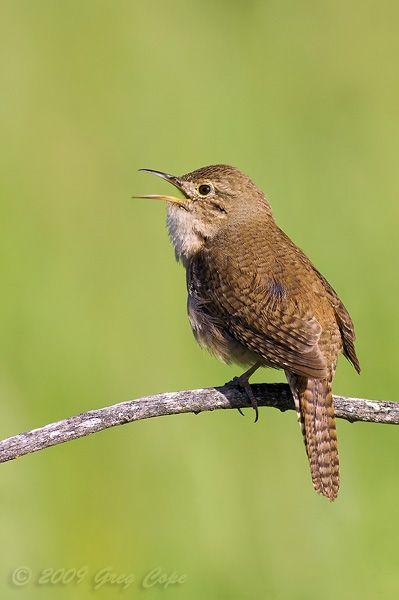House Wren Arastradero Wren Bird Life List Beautiful Birds