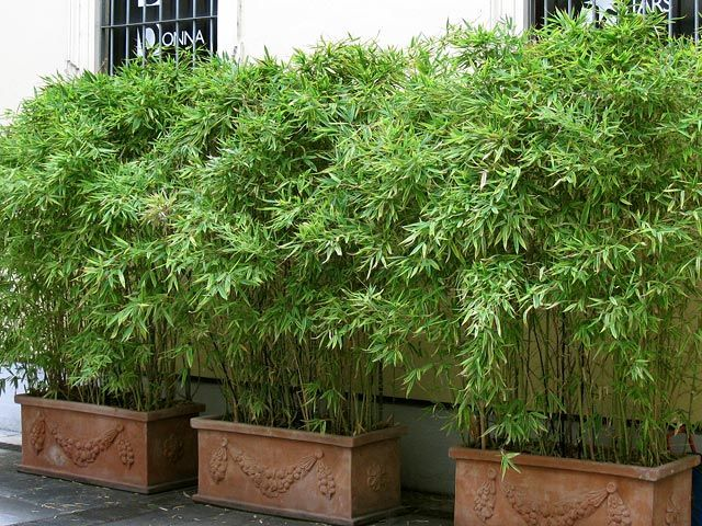Garden Design With Luxurious Bamboo Plants Pots Outside Pinterest