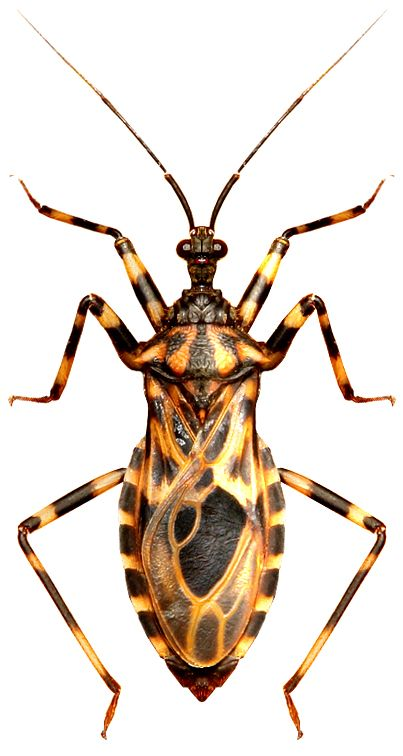 Hemiptera 半翅目 おしゃれまとめの人気アイデア Pinterest Ken