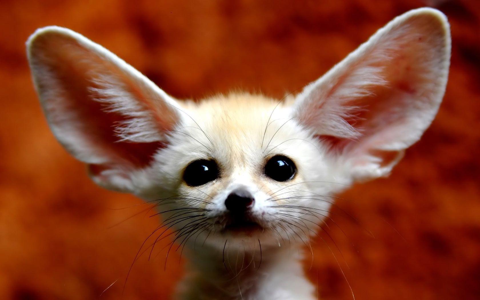 Fennec Fox <3