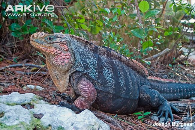 Male Andros Island Iguana Endangered