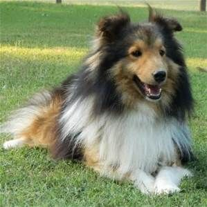 Teacup Shelties Bing Images Sheltie Animal Pictures