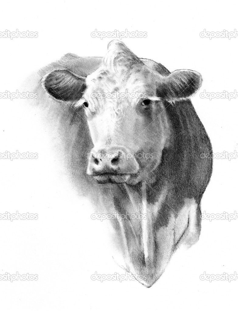 Pencil drawing of a cow head f a r m cows in 2019 cow drawing