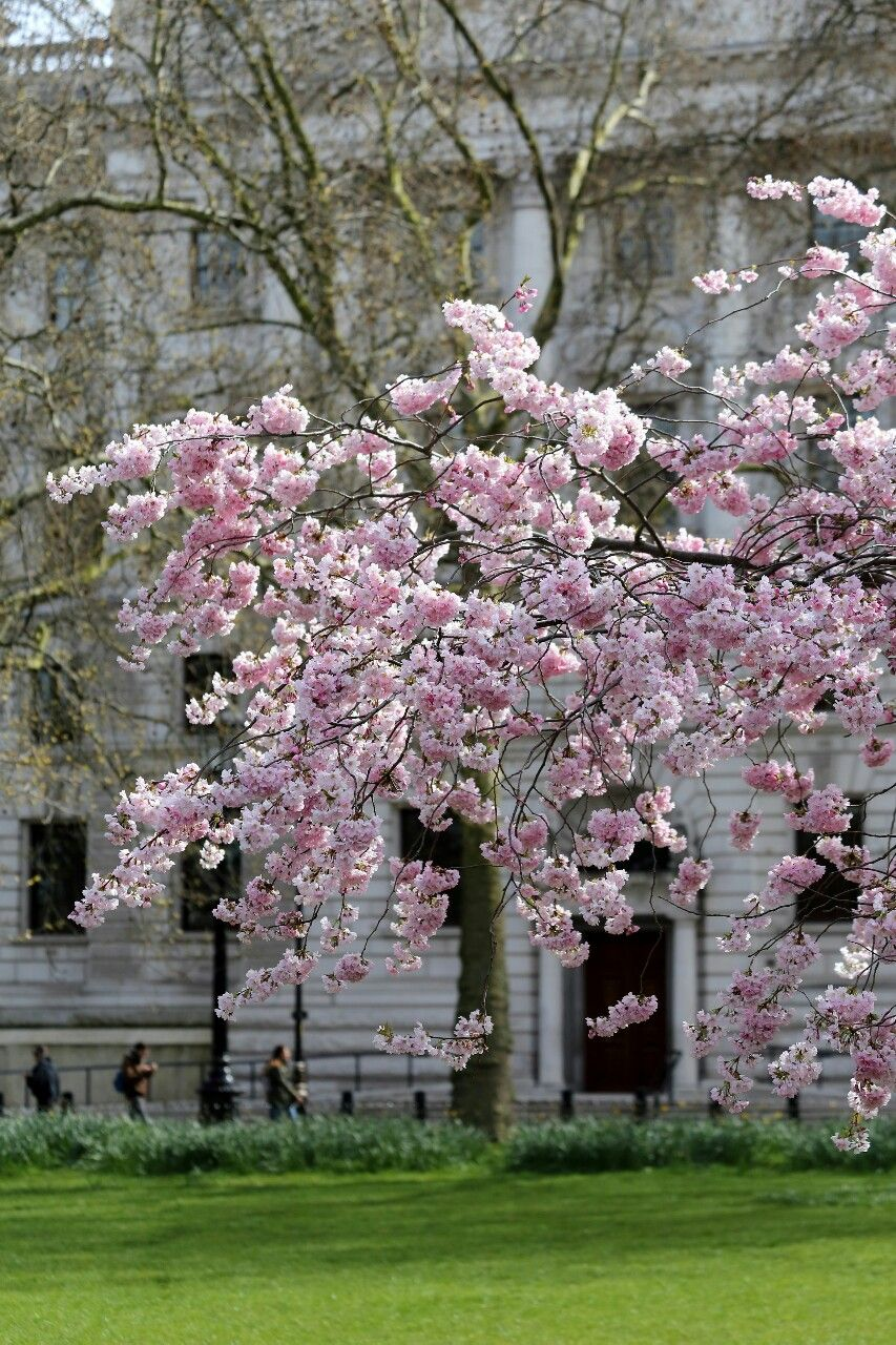 "britishdailyphoto:  ""Spring blossom in St James's Park, London  """