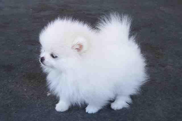 Aaaaaaah Pomeranian Fluff Ball Pom Pom Fluff Ball Pomeranian Puppy Pomeranian Dog Pomeranian Puppy Teacup