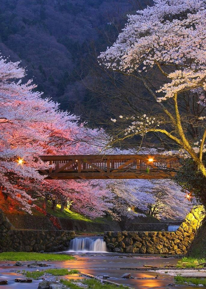 Cherry blossoms in Kyoto, Japan