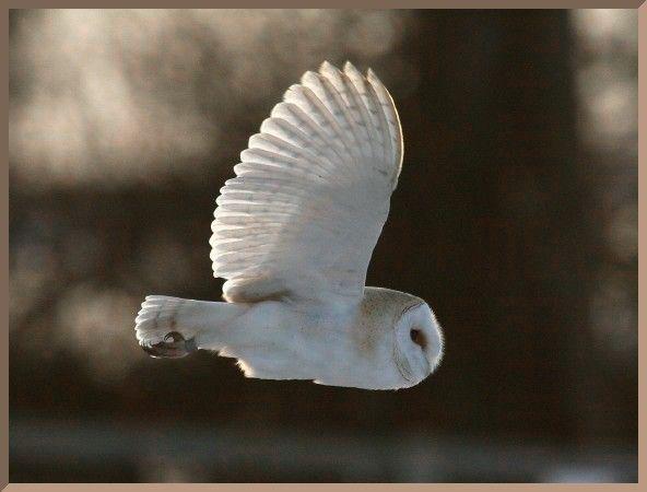 Barn Owl in Flight by vutrax #Barn_Owl #Photography #vutrax