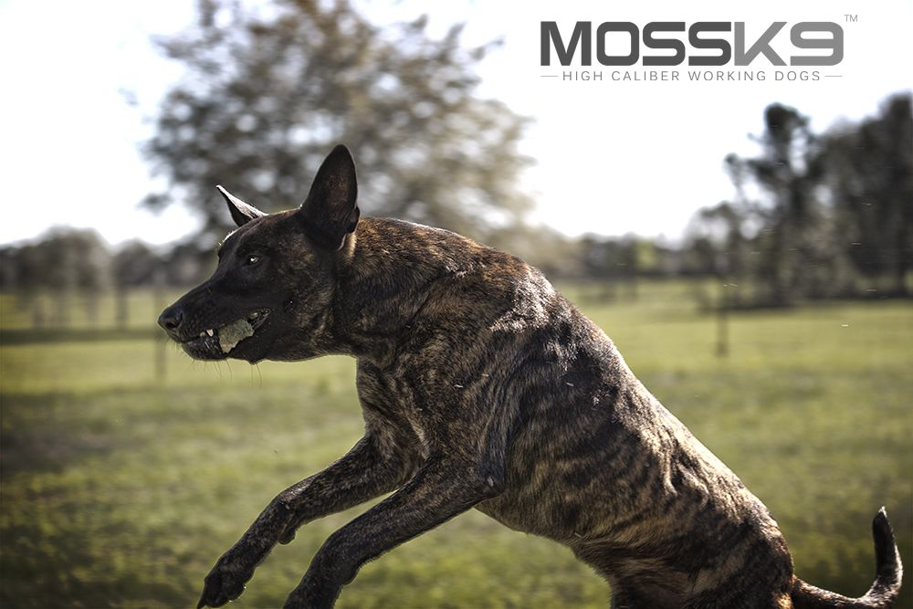 Dutch Shepherd Malinois Puppies Malinois Puppies For Sale Working Dogs