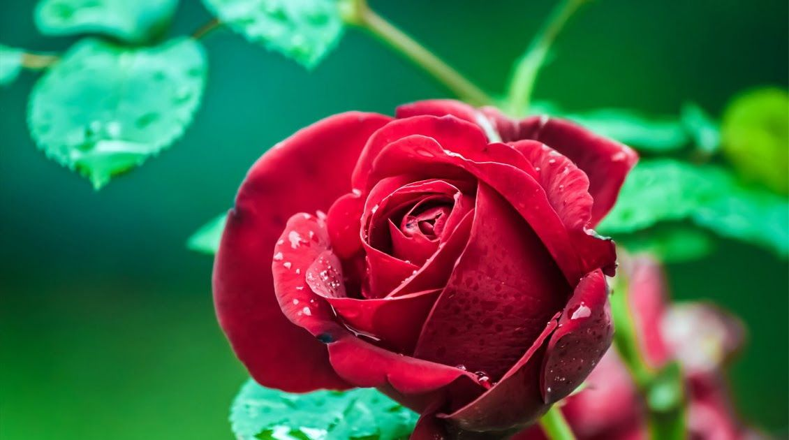 21 Full Screen Nature Wallpaper Rose Di 2020 Dengan Gambar