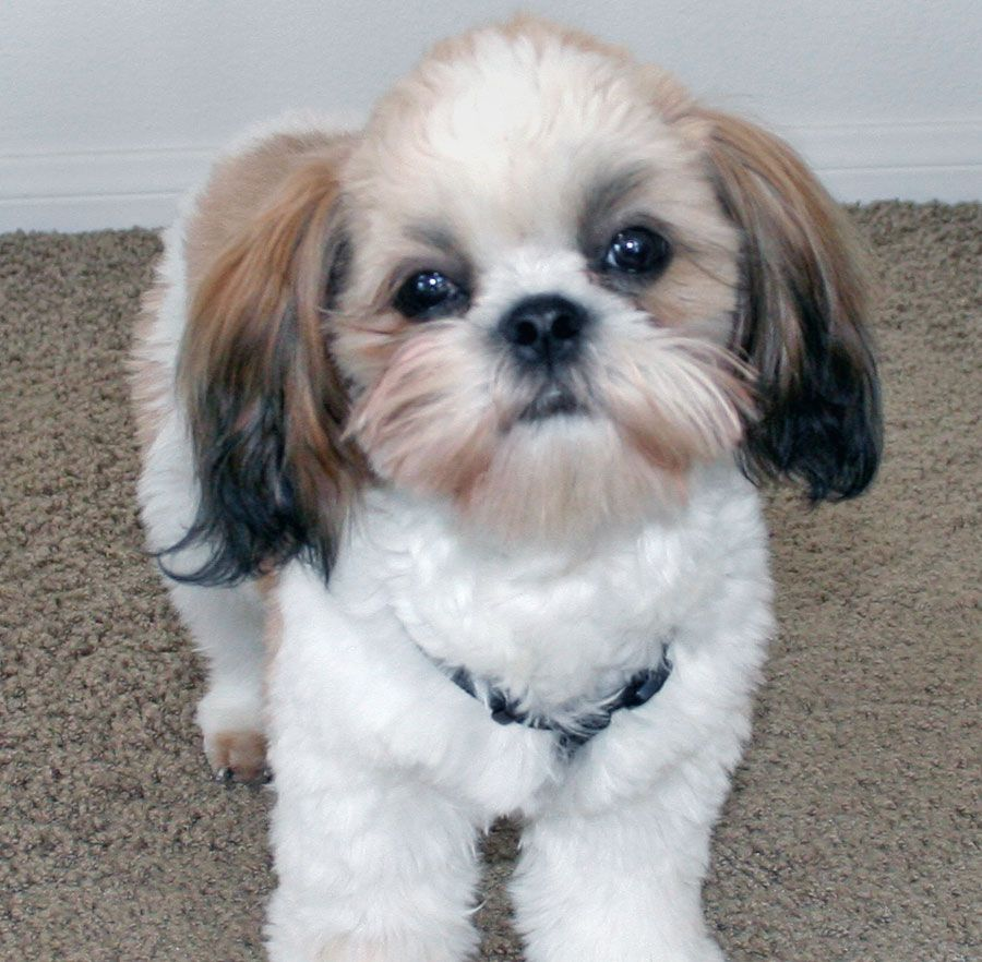 Shih Tzu Temperament With Images Cute Small Dogs Cutest Small