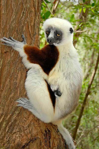 lémurien et son bébé - antsirabe | furry friend | pinterest