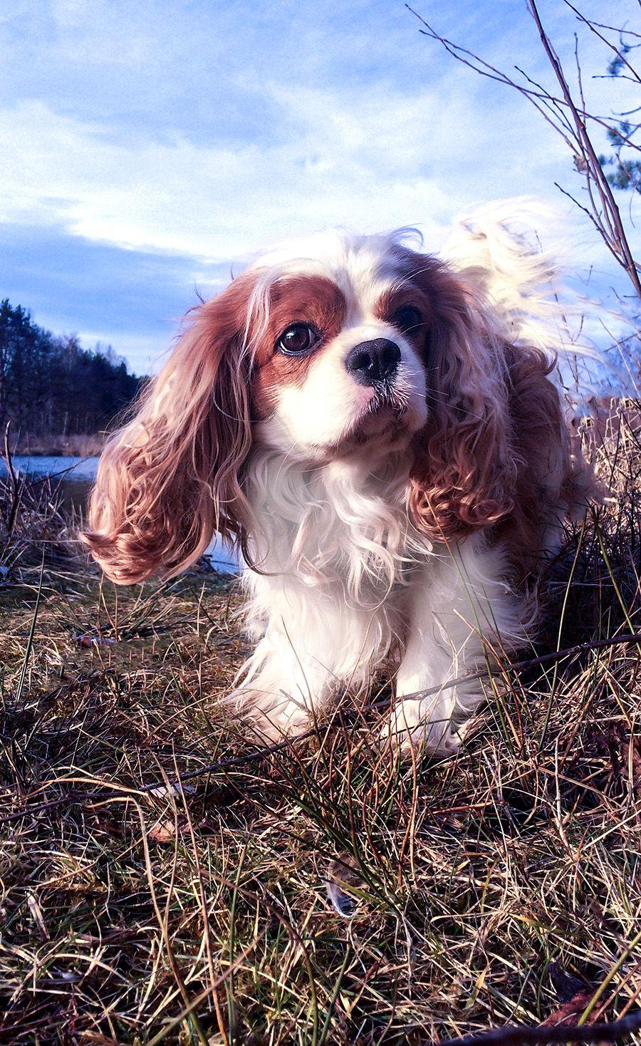 Cavalier King Charles Spaniel Hunde Ratgeber In 2020 Spaniel Hund Spaniel Cavalier King Charles Spaniel