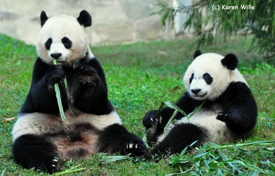 Tai Shan's Very Important Panda - VIP FB Page