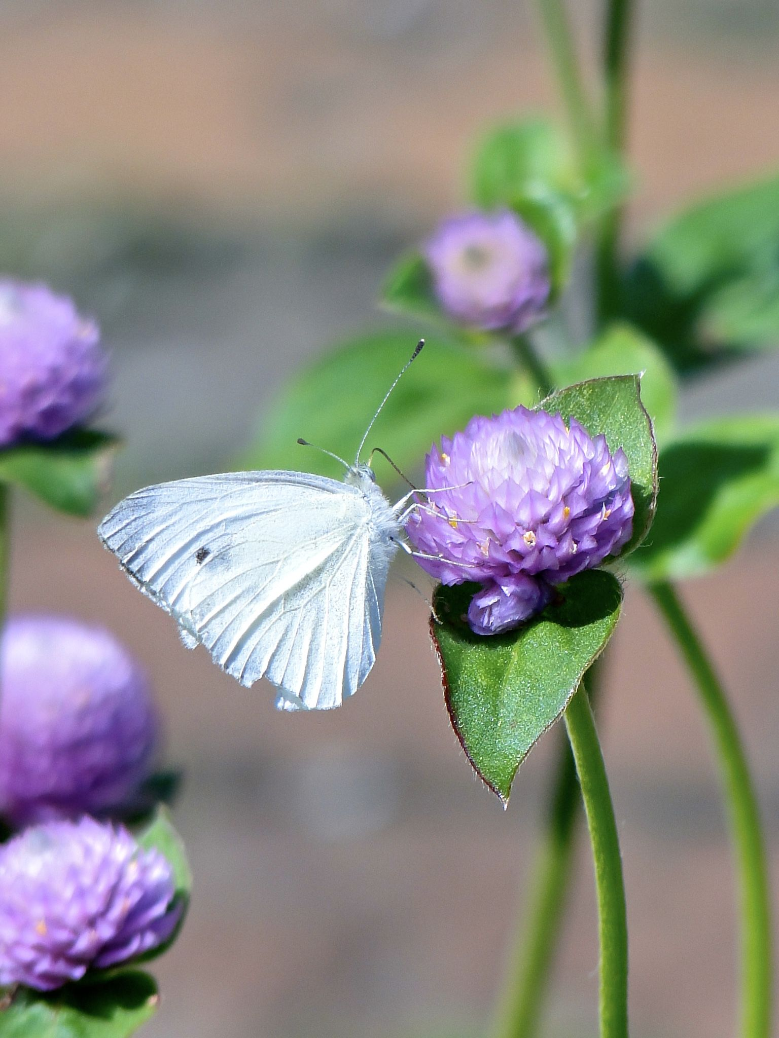 Cabbage White Butterfly · White ButterflyCabbageOhio