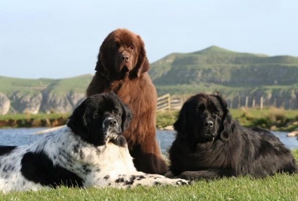 Three Different Colored Newfoundlands Someday When I Have A