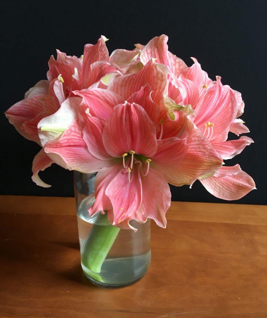 Discover The Beauty Of Double Amaryllis Flower Farm Amaryllis Plant Amaryllis