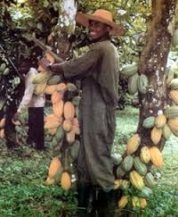 Image result for cocoa farming ghana