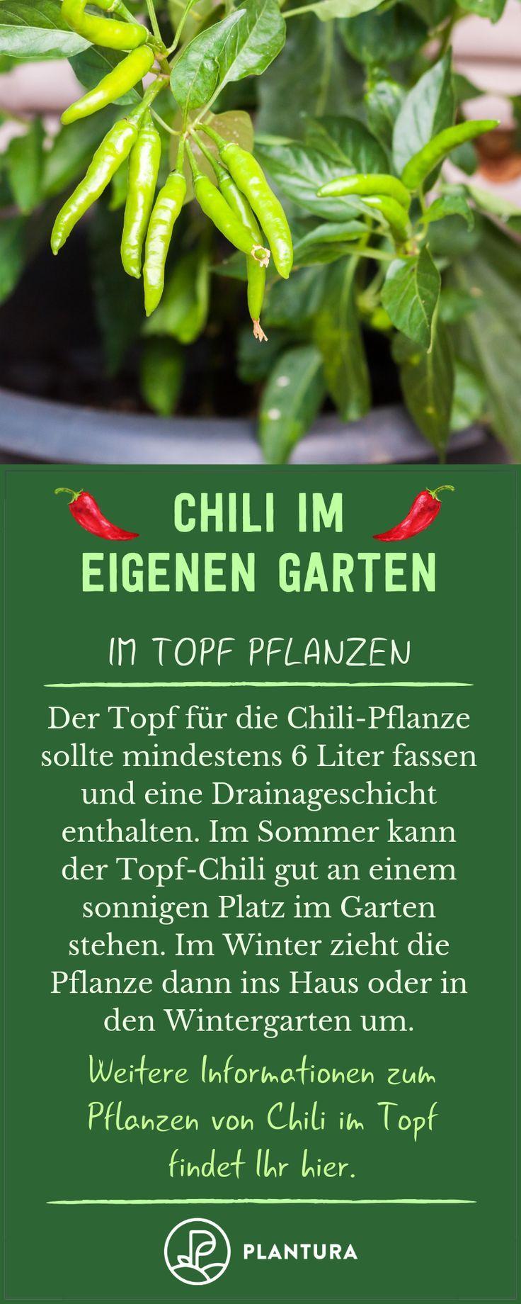 #Alles #Chili #Pflanzen #Pflegen #überwintern #Wissenswerte #zum - Chili: Alles Wissenswerte zum Pflanzen, Pflegen & Überwintern  Chili im eigenen Garten: Im Topf pflanzen! Wer Chili im Topf pflanzt, der sollte zu einem ausreichend großen Topf mit mindestens sechs Litern Fassvermögen greifen. Wir von Plantura verraten hier, was es beim Anbau von Chili noch zu beachten gilt! #chili #chilipflanzen #chilianbauen #gemüsegartenanlegen
