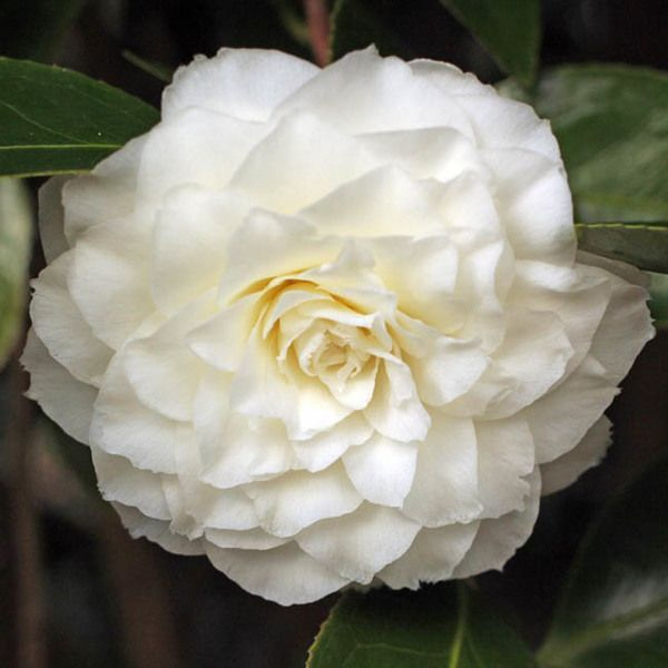 One Of The Oldest Camellias In Cultivation 1797 Award Winning Camellia Japonica 39 Alba Plena 39 Is Incredibly Beautiful With It Camellia Flowers Plants