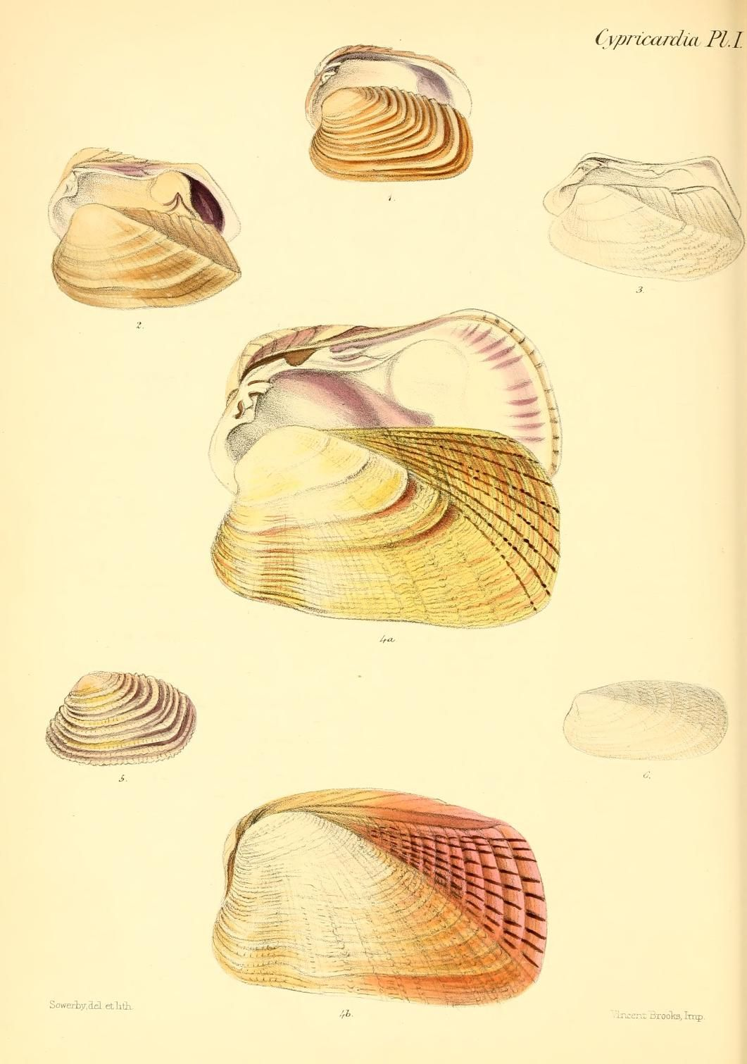 v. 1 (1843) - Conchologia iconica, or, Illustrations of the shells of molluscous…