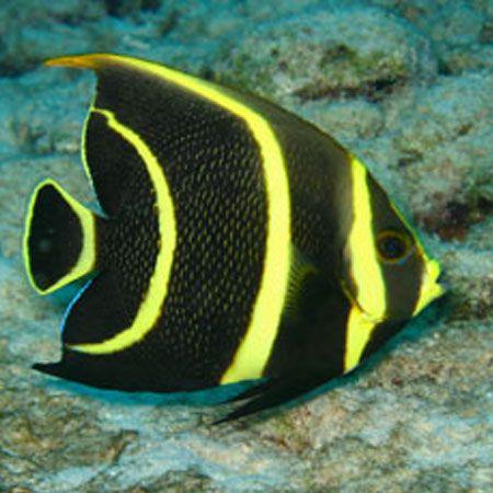 French Angel Juvenile Pre Order Marine Fish Marine Fish For Sale Fish Pet