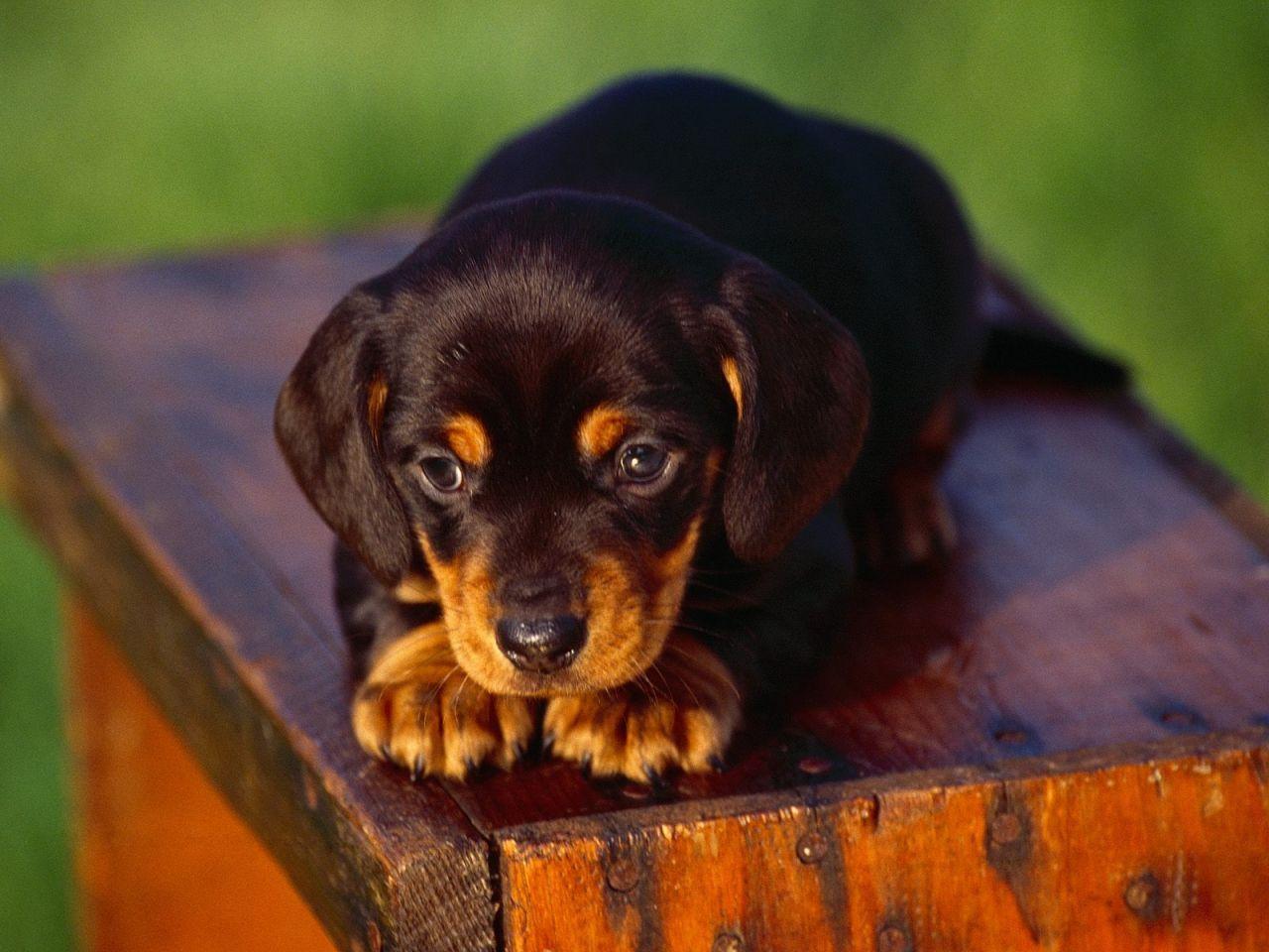 Black And Tan Mini Dachshund Precious Dachshund Puppies Puppy