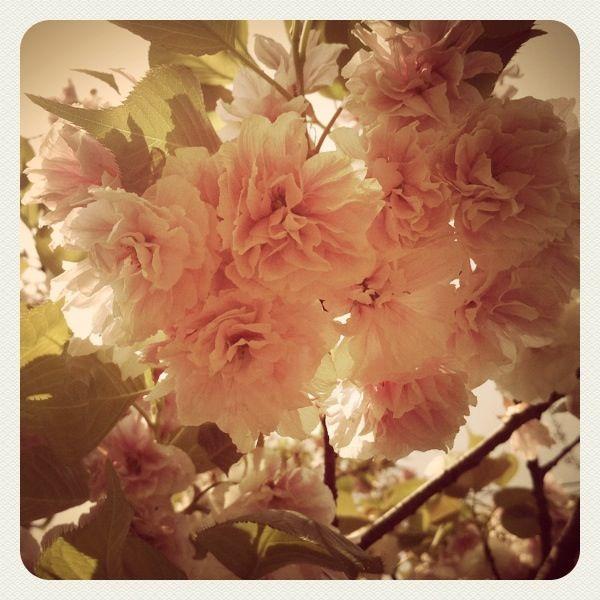 Cherry blossom with lomo