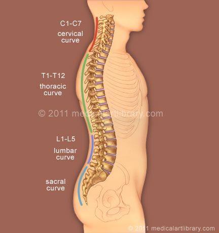 Spine anatomy curves medical illustration research roles spine anatomy curves medical illustration ccuart Images