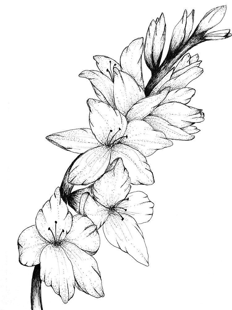 Gladiolus- Floral Print Of Original Drawing by