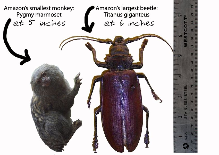 Amazon Wildlife Wows Amazon S Largest Beetle 6 Inches And