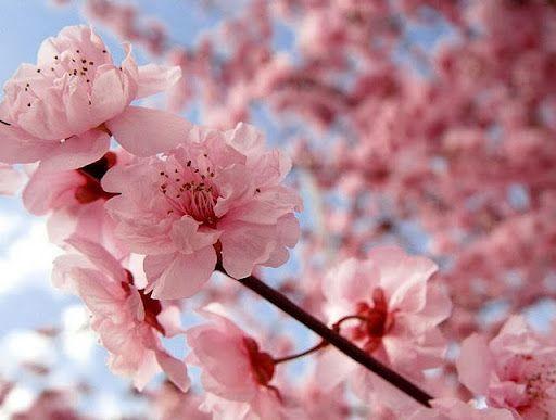 Coryn Smith Cherry Blossom Japan Cherry Blossom Flowers Sakura Cherry Blossom