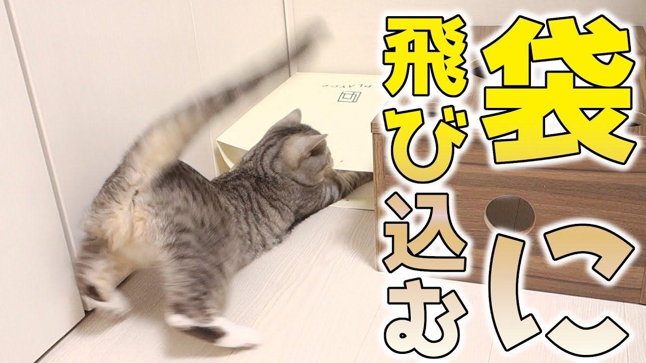 猫がおもちゃを追いかけて袋に全力ダイブ 必死な後ろ姿が可愛い 猫 かわいい Youtube 可愛い猫 猫 かわいい