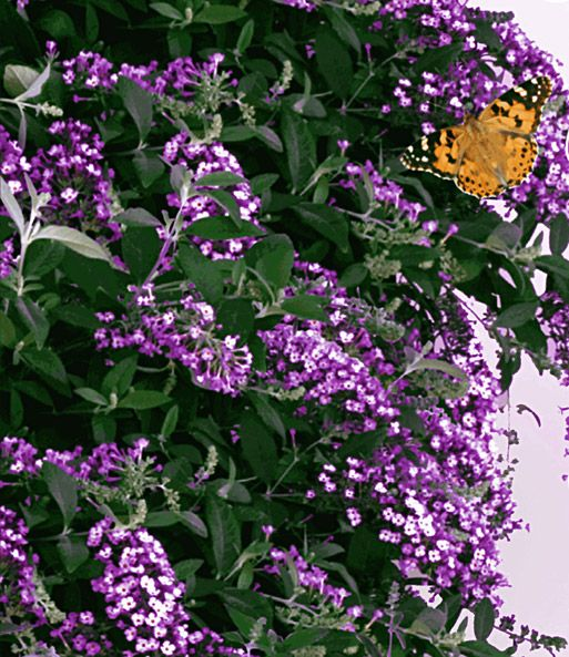 Kletternde Buddleia Schmetterlingswand | BALDUR-Garten
