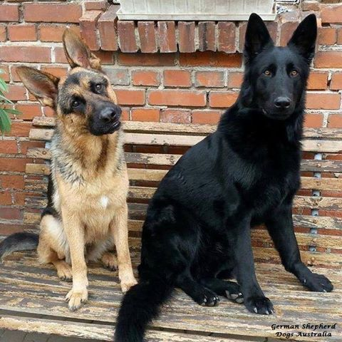 German Shepherd Dogs Australia