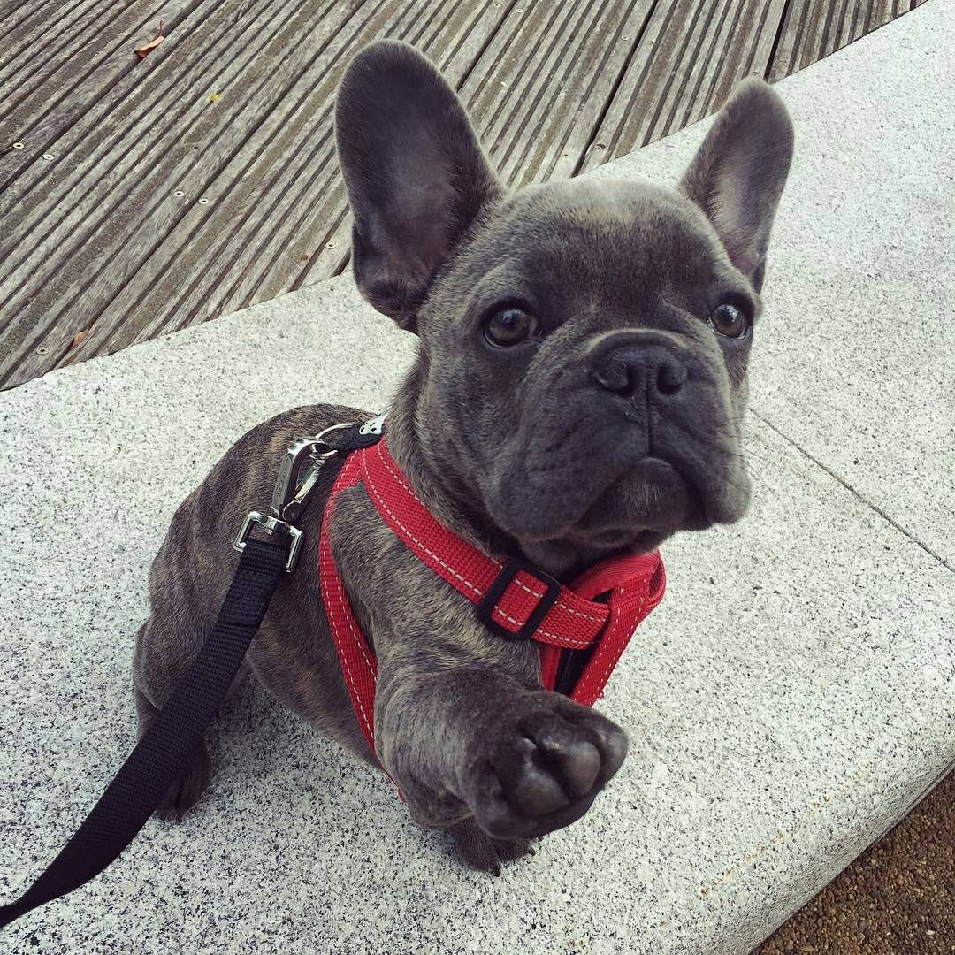 High Five Mr Chow The French Bulldog Puppy Mrchowthefrenchie
